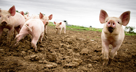 https://pigfarmingsouthafrica.co.za/the-best-pigs-to-farm-with-in-south-africa/
