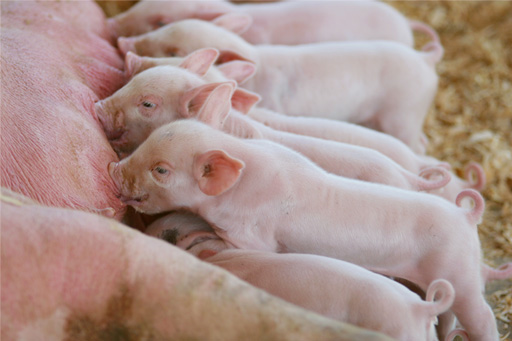How to get a Pig farming contract